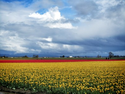 Skagit Valley Tulip Festival 1