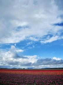 Skagit Valley Tulip Festival 10