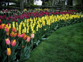 Skagit Valley Tulip Festival 12