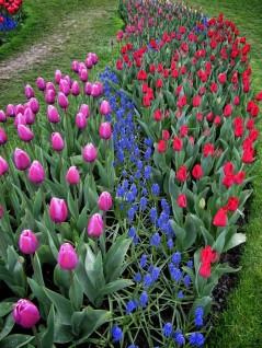 Skagit Valley Tulip Festival 13