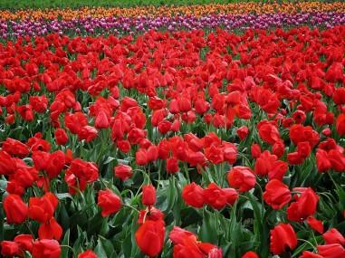 Skagit Valley Tulip Festival 14