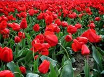 Skagit Valley Tulip Festival 15