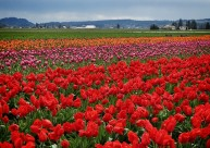 Skagit Valley Tulip Festival 16