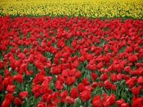 Skagit Valley Tulip Festival 17