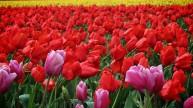 Skagit Valley Tulip Festival 18