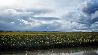 Skagit Valley Tulip Festival 19