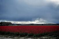 Skagit Valley Tulip Festival 20