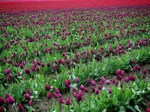 Skagit Valley Tulip Festival 3