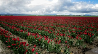 Skagit Valley Tulip Festival 4