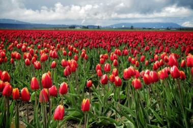 Skagit Valley Tulip Festival 5