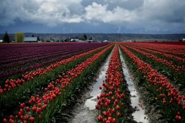 Skagit Valley Tulip Festival 6