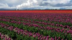 Skagit Valley Tulip Festival 7