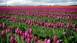Skagit Valley Tulip Festival 8