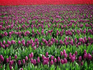 Skagit Valley Tulip Festival 9