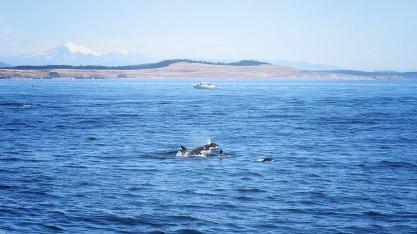 Dancing Orcas
