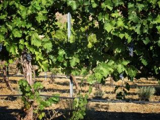 Curved Grape Vines in Eastern Washington