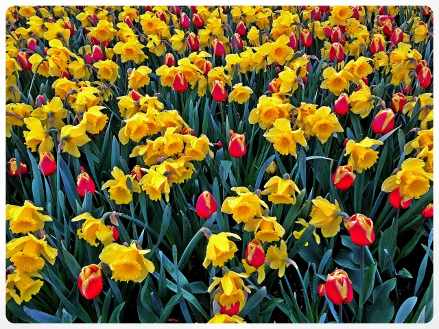 iPhone Tulips