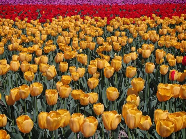 2014 Tulip Festival 2