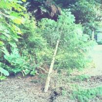 8-11 Hornbecker & Sequoia