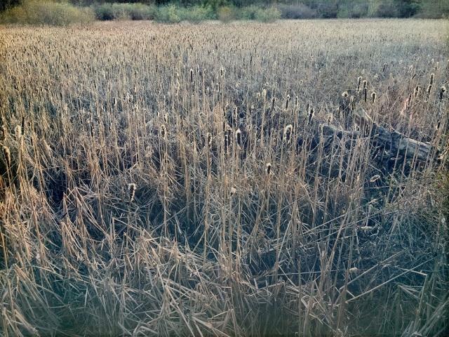 Spring Cattails in Edmonds, WA