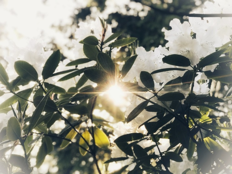 Sun flare through our favorite white rhododenderon.