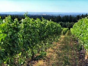 Grape vines in Oregon wine country